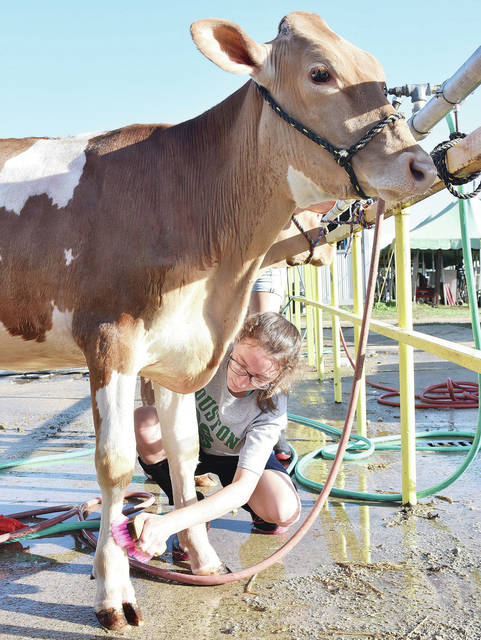 Lena Stangel, 17, of Houston, daughter of Jason and Karen Stangel, scrubs down her heifer at the Shelby County Fair Sunday, July 22.