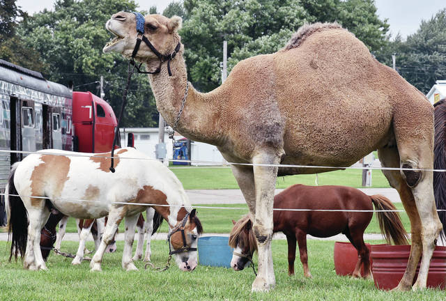 A camel grazes with other animals at the Shelby County Fairgrounds Sunday, Aug. 26. The animals were lounging on the green grass as they waited to perform in the Zerbini Family Circus at 6 p.m. Monday, Aug. 27. The circus will have only the one performance at the Shelby County Fairgrounds.