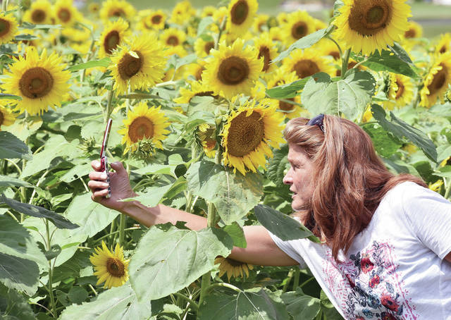 Joyce Brower, of Sidney, takes photographs of sunflowers in a field along the 10000 block of West Mason Road recently. The field of sunflowers was planted for the first time this year by Brower's brother-in-law.