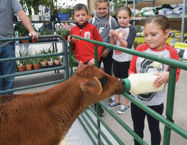 Kenley Miller, far right, 4, feeds a calf milk while her siblings, left to right, Kayden Miller, 8, Maddy Miller, 9, and Riley Miller 6, all of Sidney, watch during a Children's Miracle Network fundraiser for the Dayton Children's Hospital at Walmart, Saturday, Sept. 8. Kids could look at a race car on display, pet farm animals, meet the Shelby County Sheriff's Office mascot and drive small toy vehicles. The kids are all the children of Ken and Ashley Miller.