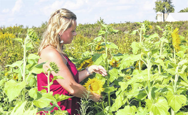 Rachel Echols, of Sidney, stops to look at one of the sunflowers growing at Crossway Farms, 2111 Cisco Road, Sidney. The business has a U-pick program for its sunflowers and other events at the farm.