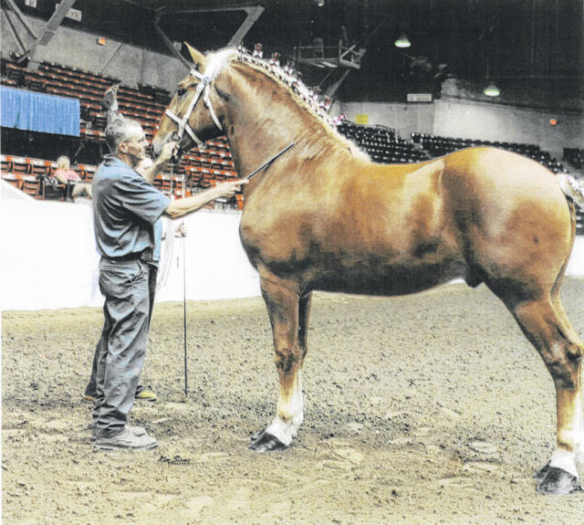 Don Barhorst shows two-year-old Belgian stallion, Jess Supreme, at the 2018 Ohio State Fair.