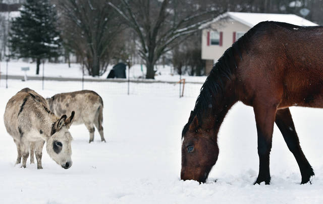 A horse, right, eats grass from a hole it made in the snow along Broadway Avenue Thursday, Jan. 17. Grass is harder to reach for animals after Saturday's storm hit the area.
