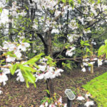 Spring turns on at Governor's Residence