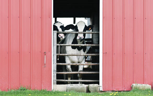 A pair of steers peek out of a barn on Mason Road near Fort Loramie on the afternoon Thursday, May 2. The animals are owned by Mike Poeppelman and the barn is owned by Ed Sanders.
