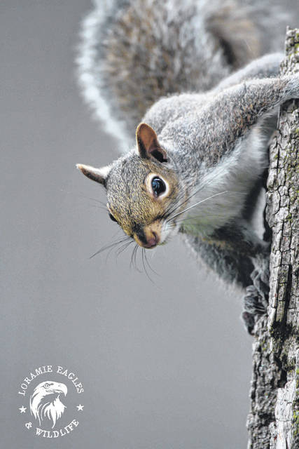 A gray squirrel watches from the side of a tree at Lake Loramie State Park.