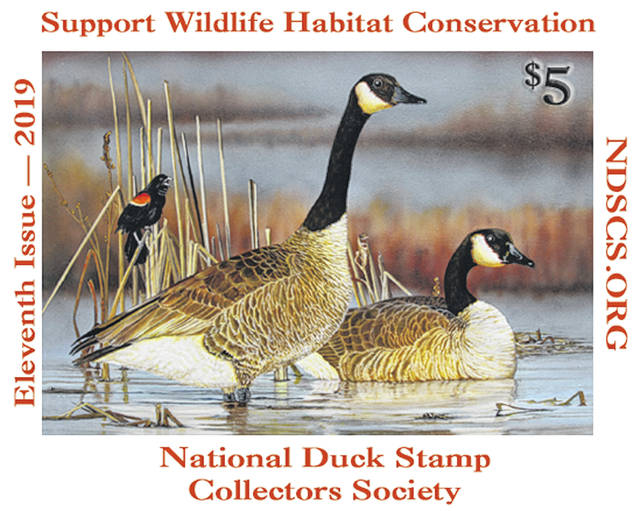 Matt Clayton of Sidney won first and third place in the National Duck Stamp Collector's Society's 2019 duck stamp contest with a painting of a pair of Canada geese.