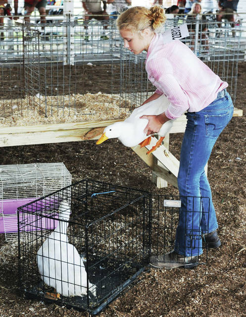 Sophia Brewer, 12, of Anna, daughter of Nikki and Ryan Brewer, shows her meat ducks at the Shelby County Fair on Wednesday, July 24.