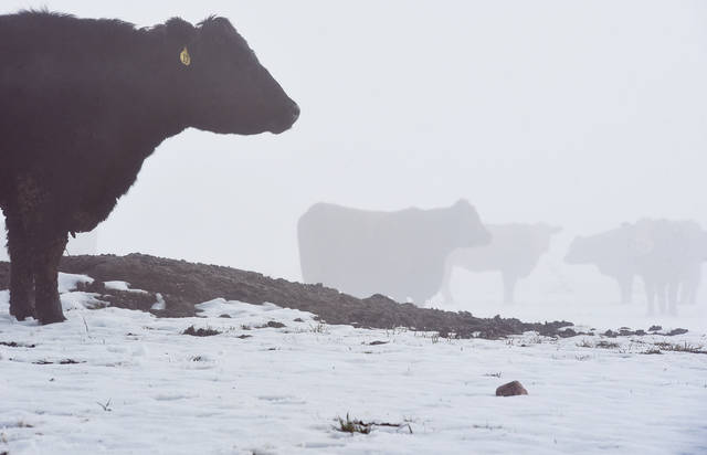 Cows stand in their fog shrouded pasture on the 2000 block of State Route 47 Tuesday, Dec. 24. Heavy fog made driving conditions difficult with low visibility.