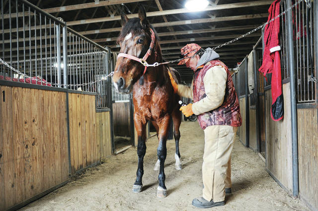 Roy Selander, of Sidney, rubs liniment into his horse, Larochelle Hanover, in a horse barn at the Shelby County Fairgrounds on Wednesday, Jan. 22. Selander had just taken Hanover out for some exercise around the fairground's racetrack. Hanover competes in sulky racing.