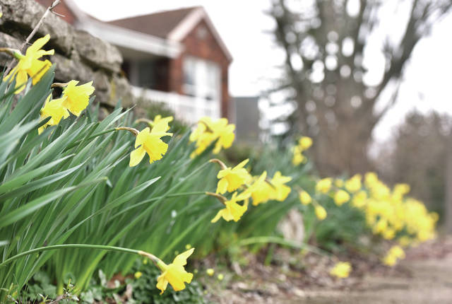 A row of daffodils in full bloom lean out over the sidewalk along Port Jefferson Road where it intersects with Clinton Avenue on Tuesday, March 31. Daffodils in the area just started blooming en masse this last week.