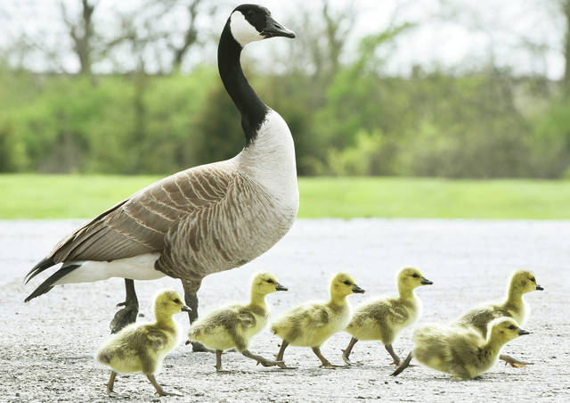 A Canada goose walks with its newborn goslings in a parking lot along North Vandemark Road on Wednesday, April 22.