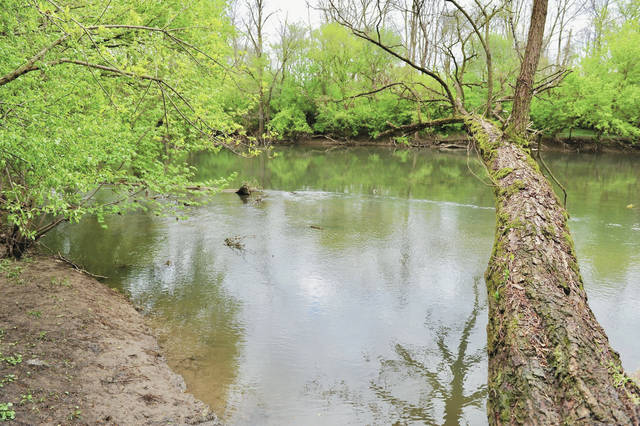 According to Sidney Fire Department Deputy Chief Chad Hollinger a kayaker found the body of what Hollinger believes to be a man missing since a boating accident on Monday, April 27. The body was found in the Great Miami River to the left of this tree which is located next to Enterprise Avenue. The man became stuck in the river when he went back in his kayak to the dam near Stolle Bridge to try and rescue the two women he was with who fell out of their boat while going over the dam.