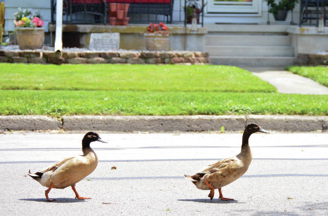 A pair of ducks walk down the middle of Broadway Avenue on Thursday, May 28. The birds had been lying in the middle of Broadway Avenue in front of a house at 1031, seemingly oblivious to the danger they were in as cars drove by.