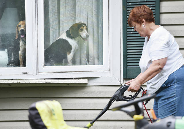Diane Bender, of Sidney, tills her flowerbed along Norwood Avenue while under the watchful eye of her two foster beagles Jed, left, and Rebel on Wednesday, June 10. Bender said Rebel goes into fits if she walks out of his sight. Bender is a member of the organization Midwest Beagle Relocation Education Welfare.