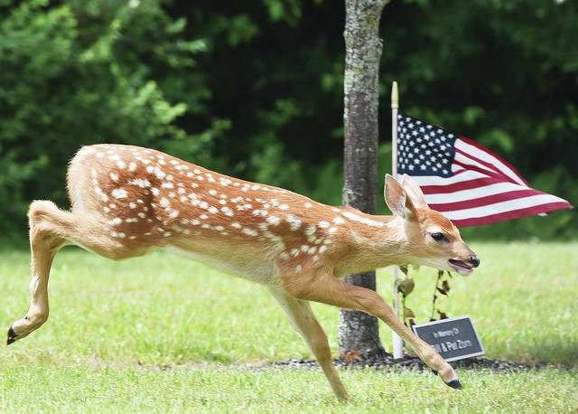 A fawn runs past a tree and United States flag planted in memory of Bill and Pat Zorn on Monday, June 15. The memorial tree is located along the parking lot entrance of the Sidney American Legion Post 217. Another fawn accompanied it, but their mother was nowhere to be seen.
