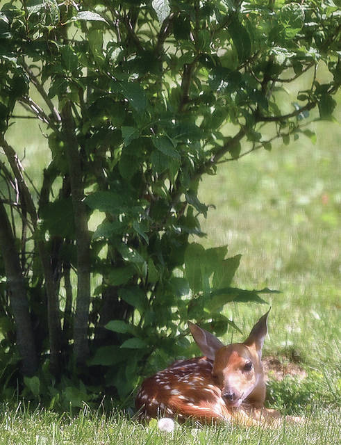A fawn sits under a lilac bush in the backyard of Mary Jane Sherman along West Russell Road on Tuesday, June 30.