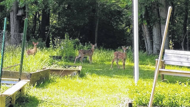 A group of fawns visit the Peoples' Garden behind Agape Distribution in Sidney.
