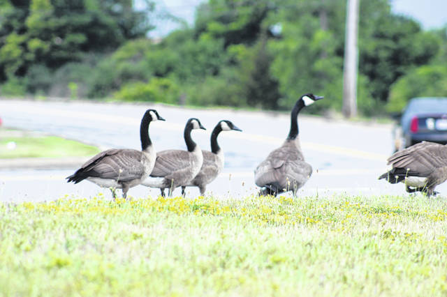 A gaggle of Canada geese crosses North Vandemark Road in Sidney Tuesday afternoon in front of the Family Resource Center. Cars slowed and stopped in order to allow the geese to cross safely.