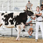 Cows and rabbits at the Auglaize County Fair