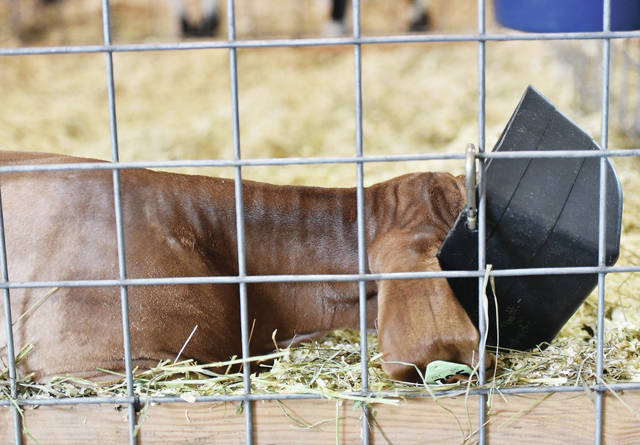 A goat fell asleep with its head in its food dish at the Auglaize County Fair on Tuesday, August 4.