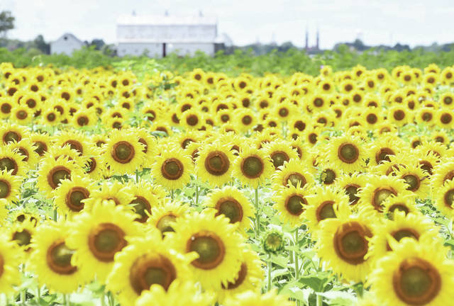 A field of sunflowers faces the sun along state Route 119 next to its intersection with Wilkins Fortman Road on Wednesday, Aug. 5. St. Augustine Catholic Church, located in Minster, can be seen on the horizon.