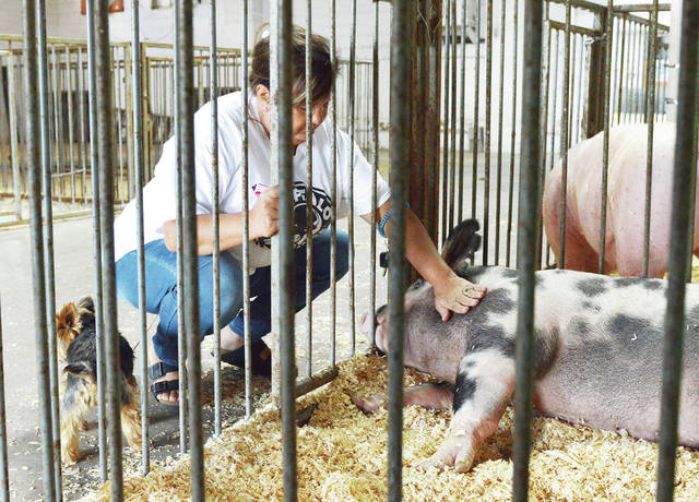 Audra Fetter, of Waynesfield, pets the Auglaize County Fair grand champion market barrow at the Auglaize County Fair on Friday, August 7. All the other animals had been removed from the fairgrounds except some of the champion animals who were waiting for a meat company to butcher them. Fetter had gotten to know the grand champion barrow because a relative of hers had raised it. With Fetter is her dog, Izzy.