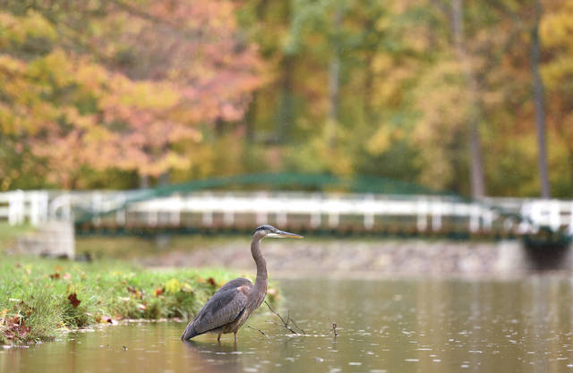A great blue heron hangs out in Amos Lake next to the 1879 Zenas King Bridge at Tawawa Park on Thursday, Oct. 15. A dedication ceremony for the bridge will be held on Saturday, Oct. 17 at 2:30 p.m.. The bridge's former owner Tim Hemmelgarn will be one of the speakers.