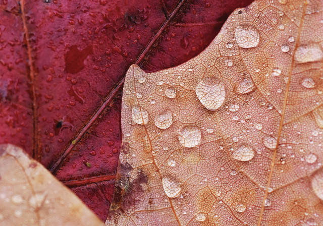 Water droplets cover a leaf on the courtsquare on Tuesday, Oct. 27. More rain is forecast for Thursday.