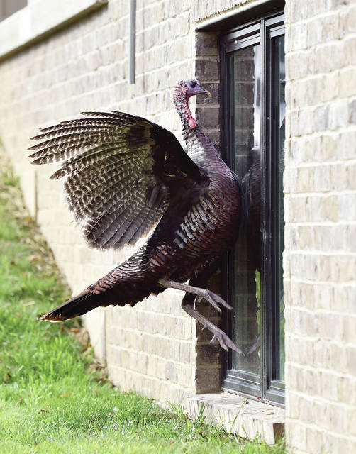 A wild turkey attacks its reflection in the window of a house on Winter Ridge Drive recently. The turkey had been fighting another turkey in the house's front yard when it became entranced by its own reflection.
