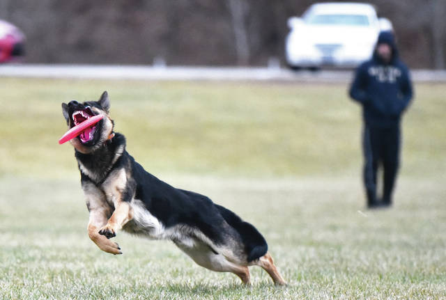 A German shepherd named Zeus snatches a frisbee out of the air that was thrown by his owner, Jacob Jones, right, of Sidney, at Tawawa Park on Wednesday, Jan. 7. Jones said he plays catch with Zeus several times a week and on Saturdays a number of other German shepherd owners get together at Tawawa Park for their dogs to socialize.