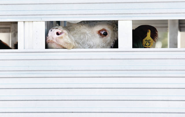 A cow peaks out from inside an animal trailer in the parking lot of Custenborder Field on Friday, Jan. 15. The trailer, being driven by Mike Zoldak, of Rushsylvania, was making a stop so Zoldak could eat lunch. Zoldak's wife, Julie Zoldak, brought him a meal from Wendy's because he couldn't fit the trailer through the Wendy's drive thru. Zelda was transferring the cows from a farm in Greenville to one in Rushsylvania so the cows would have a better environment for calving.
