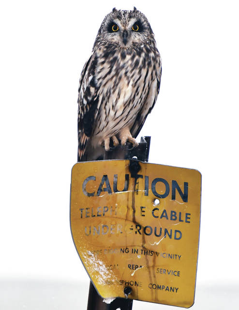 An owl perches on a sign warning about underground telephone cable located next to Thaman Road near the village of St. Patrick on Sunday, Jan. 17.