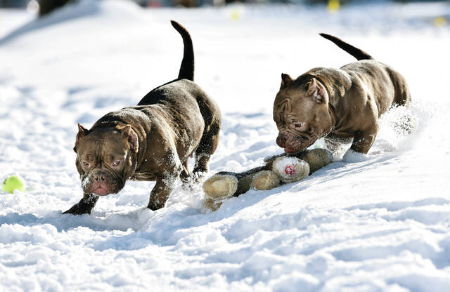 Exotic Bullys, Buttercup, left, and Trumoo, play in the snow in a private yard near Main Avenue on Tuesday, Feb. 2.