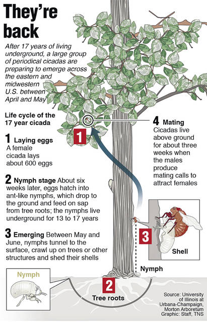 The graphic explains the life cycle of the 17-year cicada.