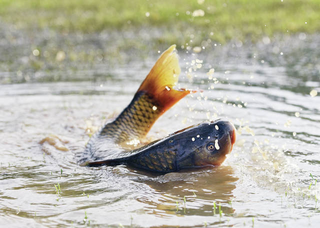 A large carp finds itself stuck in the shallow water of a partially flooded field behind the Riverside Carryout on Monday, May 10. The rain-swollen Great Miami River is flowing quickly with some minor flooding on its banks.