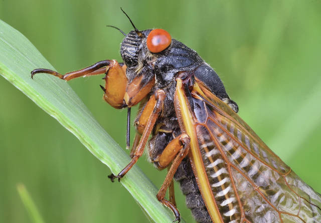 A Brood X cicada sits on a blade of grass at the Renner Sanctuary on Monday, May 24. The Brood X cicada is a periodical cicada that comes out of the ground every 17 years as a wingless nymph. It then molts its skin, emerging in its final adult form. The harmless bug will mate and then die. Its eggs will hatch into nymphs that burrow underground to start the cycle over. The male makes a loud noise to attract females. The sound is created by a special membrane called a tymbal. Renner Sanctuary is located at the intersection of Cisco Road and Patterson Halpin Road.