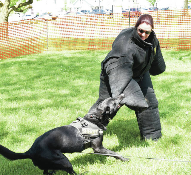 Stephanie Dembski, Shelby County Sheriff's Office, demonstrates the ability of Arko to catch and hold a suspect. Arko is a Belgium Malinois from the Preble County Sheriff's Office. Arko is trained by Preble County Deputy Sheriff Matt Lunsford. The demonstration was held at the 2021 Jackson Center Community Days on Saturday, June 5.