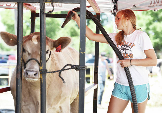 At the Shelby County Fair on Sunday, July 25 Jessica York, 19, of Russia, daughter of Mike and Maria York, blows air onto the steer she will be showing in the beef steer category.