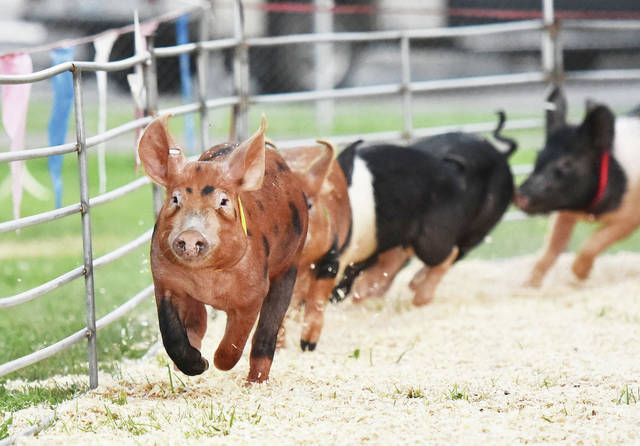 Pigs race around a track at the All American Pig Racing free show at the Shelby County Fair on Monday, July 26. The show is hosted by Luddie Ackerman who said they travel all over the country including 17 fairs this year in Ohio.