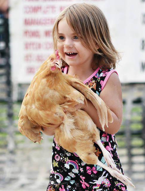 Miracle Salmons, 3, of Anna, daughter of DJ and Jackie Salmons, carries a chicken while competing in the Pig, Calf and Sheep Scramble at the Shelby County Fair on Friday, July 30.