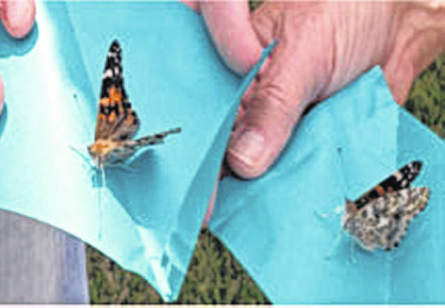 Painted Lady Butterflies will be released for event.