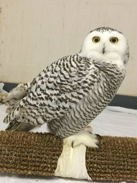This Snowy Owl has been treated at Ohio Wildlife Centers Hospital since November 29th 2017.
