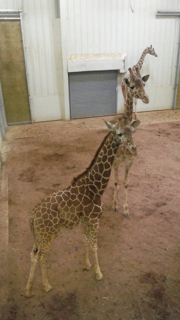 In a file photo taken at the Columbus Zoo's giraffe enclosure, these three giraffes appear to be joined together, but they are separate and waiting to be fed romaine lettuce. Zoo Life, a six-episode show from the Zoo in Delaware County, will air this summer on Nat Geo WILD.