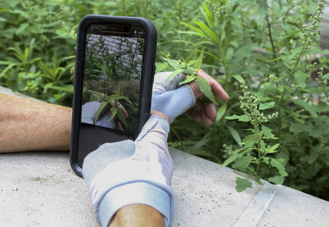 "In this July 27, 2018 photo, Susan Hewitt photographs a daisy-like weed known as 'shaggy soldier' and adds it to iNaturalist, the app she uses to participate in the New York City EcoFlora project. ""If people could just take a few minutes to look at nature closely, I think they would be blown away,"" Hewitt said.  Hundreds of New Yorkers are working with researchers to find and catalog wild plants in their city. They're taking pictures with their smartphones as they walk the streets. Participants have already found invasive species, plants never documented before in New York City, and endangered native weeds. (AP Photo/Emiliano Rodriguez Mega)"