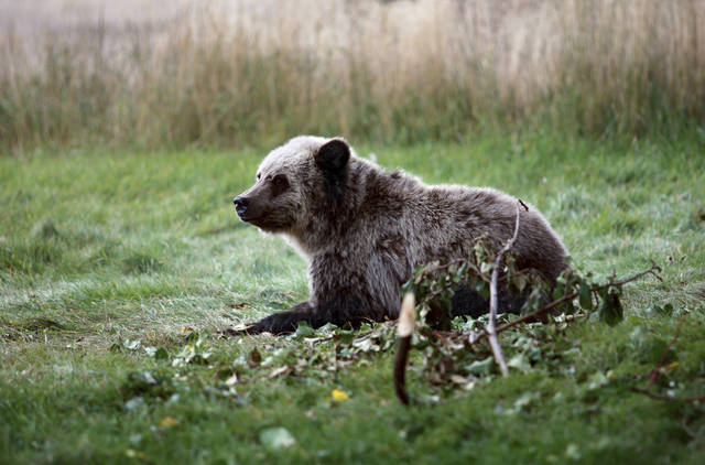 FILE - In this Sept. 25, 2013 photo, a grizzly bear cub rests near a cabin a few miles from the north entrance to Yellowstone National Park in Gardiner, Mont. A court ruling Monday, Sept. 24, 2018, that blocked grizzly bear hunts in the U.S. West carries far wider political implications amid a push by Congress for sweeping changes to how imperiled species are managed. (Alan Rogers/The Casper Star-Tribune via AP, File)
