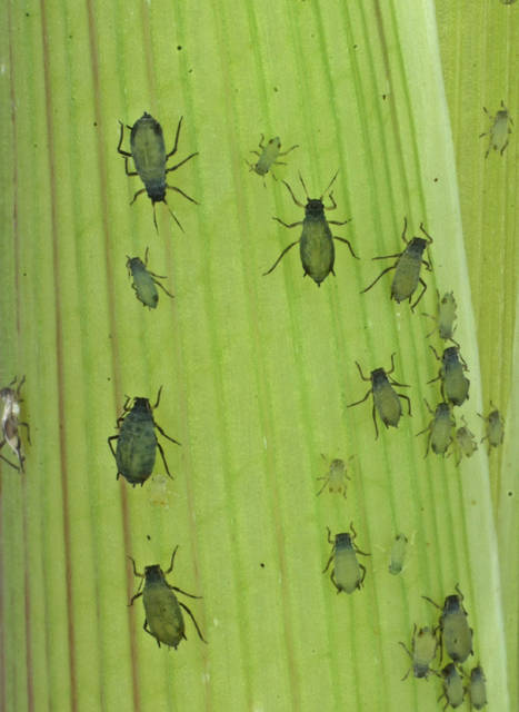 This 2013 photo provided by the Boyce Thompson Institute shows corn leaf aphids used in a study to modify crop plants through engineered viruses. In an opinion paper published Thursday, Oct. 4, 2018, in the journal Science, the authors say the U.S. needs to provide greater justification for the peace-time purpose of its Insect Allies project to avoid being perceived as hostile to other countries. Other experts expressed ethical and security concerns with the research, which seeks to transmit protective traits to crops already growing in the field. (Meena Haribal/Boyce Thompson Institute via AP)