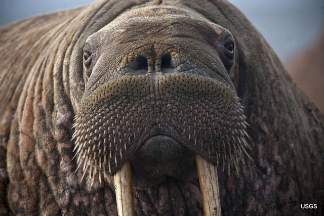 This photo provided by the United States Geological Survey shows a female Pacific walrus resting, Sept. 19, 2013 in Point Lay, Alaska. A lawsuit making its way through federal court in Alaska will decide whether Pacific walruses should be listed as a threatened species, giving them additional protections.  Walruses use sea ice for giving birth, nursing and resting between dives for food but the amount of ice over several decades has steadily declined due to climate warming.   (Ryan Kingsbery/U.S. Geological Survey via AP)