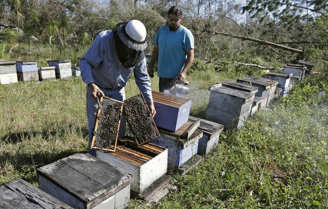 In this Friday Oct. 12, 2018 photo, Ben Lanier, left, and Justin Sours inspect a beehive after several trees were knocked down by winds from Hurricane Michael in Wewahitchka, Fla Michael's devastation could threaten the tupelo honey production in the tiny community that is the main source of the sweet delicacy.(AP Photo/Chris O'Meara)