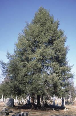 An eastern hemlock tree.